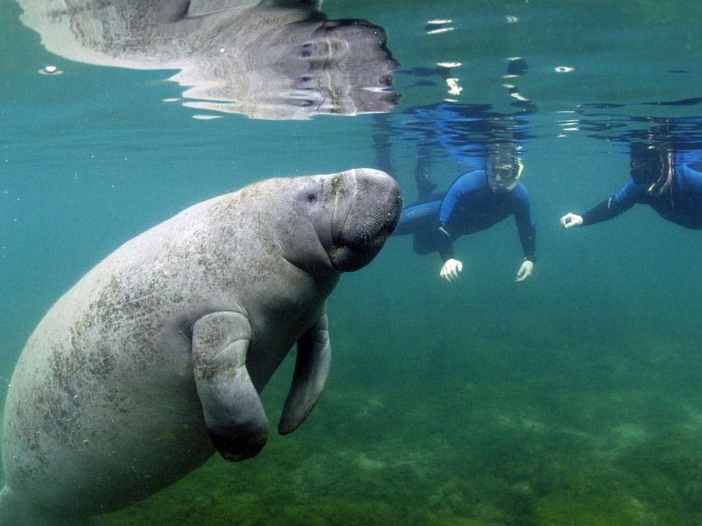 Aventura com peixe-boi na Flórida