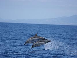 Programok/Leírások Idegen Nyelven São Miguel - Whale Watching