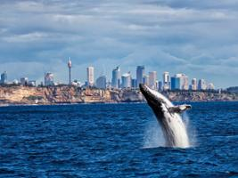 Whale Watching Lunch Cruise, Sydney - NSW